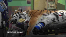 Rare tiger gets new hip in surgery at Illinois zoo