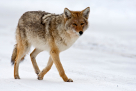 Natural world groups fight coyote-killing contest in Belleville