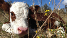 How high can Australian cattle prices go in the three hundred and sixty five days of the Ox?