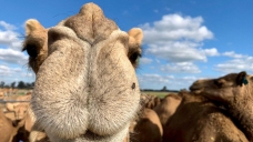 Feral camel auction attracts interest from across the country