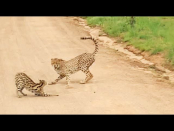 Serval escapes four cheetahs in the Pilanesberg Recreation Reserve [video]