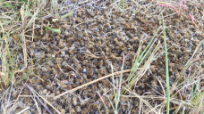 'An absolute mess': 'Intestine-wrenching' bee deaths prompt renewed call for ban on insecticide Fipronil