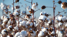 China might not be buying, but Australia's cotton industry is looking much better in 2021