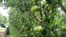 Money bonuses on offer to get more people to pick fruit