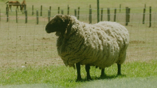 After four years, Rambo the rogue ram has finally been caught and forced to meet his barber