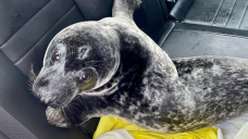 Surly seal spotted on Charlottetown sidewalk apprehended by police
