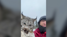 'Let's go see the damage you did': B.C. farmer lectures lynx after chicken coop attack