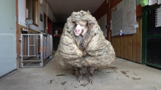 'He could barely see': Wild sheep 'Baarack' recovering after 35kg fleece shorn off