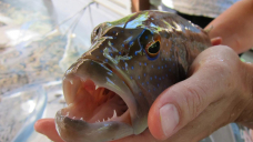 China pulls the plug on Australia's biggest live reef fish exporter