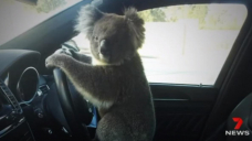 Koala causes six-car pile-up on South Jap Minute-get entry to toll road in Adelaide