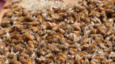 Honey yields down 40 per cent for beekeepers in disappointing summer season