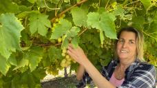 Nomads, retirees, and jobless city folk make an effort to bolster harvest picker workforce