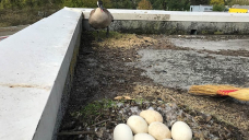 Here's why the Vancouver Park Board wants the public to report goose nests