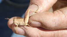 The LNP is calling for outback Queensland grasshoppers to be sprayed, but can it work?