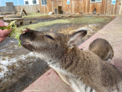 Wallaby rehabilitated after used as bait in Alberta dog fighting ring: petting zoo