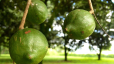 Pandemic, strong dollar force macadamia prices down
