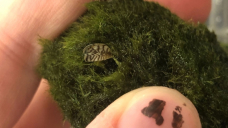 Are there mussels on your moss balls? Alberta officials warn of tiny invasive species