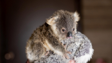 Farmers unsure of new koala protection coverage, green groups label it a 'death blow'