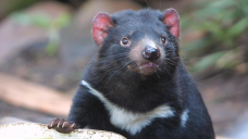 'Shocking' mass discovery of dead Tasmanian devils prompts plea for action
