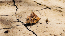 'Of us are on their knees': Graziers say grasshopper spray approval has come too late