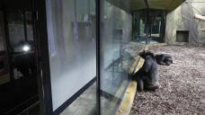 Chimpanzees at Czech zoo get screen time amid virus lockdown
