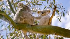 'Core habitat' for koalas threatens to derail mine