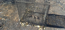 SPCA finds burnt bodies of piglets trapped in cages during Cape City fire [pics]
