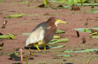 Chinese Pond Heron begins first molt in Israel