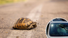 Elderly woman injured after turtle crashes through automobile's windshield in Florida