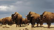 Native American lawmakers seek federal help on Montana bison
