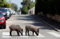 Haifa's wild boars lead married couple to file for divorce