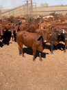 Desert cattle trucked 3,000km to new home near Dubbo
