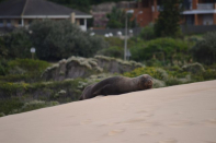 Seal resting in West Seaside dunes after being washed up