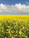 Canola shines bright as West Australian harvest reaps top dollar