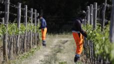 Asylum-seekers help produce Italy's famous Brunello wine