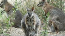 Tasmanian golf club drops wallaby cull