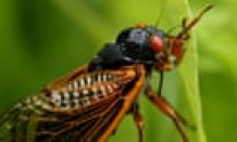 Cicada blamed for car crash in Ohio