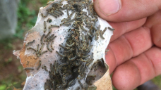 These caterpillars are poisoning people in Maine, causing painful rashes