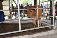 BAS happy after cattle auction