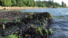 More than a billion seashore animals may have cooked to death in B.C. heat wave, says UBC researcher