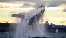 Account humpback whale images captured before Sydney's lockdown