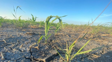 One other Manitoba municipality declares state of agricultural disaster due to drought and heat