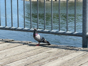Metropolis of Toronto looking at proposal to ban feeding pigeons