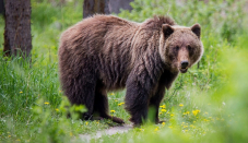 Woman ordered to pay $5.8K for attracting grizzly bear to campsite