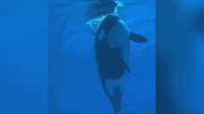 'Heartbreaking' video of Marineland's last surviving orca renews calls to free her