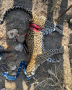 Severely injured female leopard caught in snare rescued near Blyde River