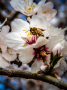 Almond industry on the rise but beekeepers say they're struggling to keep up
