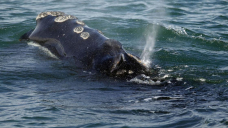 Discipline about endangered whales cited in suit over wind farm