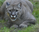 'Mettlesome' Mother fights off mountain lion to save five-365 days-conventional son