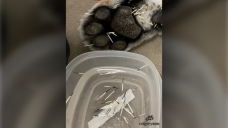 Tiger at Calgary Zoo has painful encounter with wild porcupine